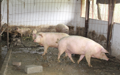 Zazinto Construction and Projects – Piggery